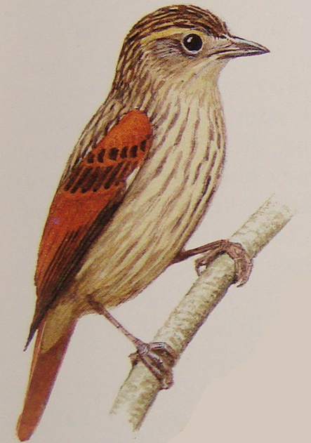 Rufous-tailed Xenops